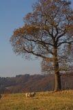在孤立绵羊结构树之下的秋天 库存照片