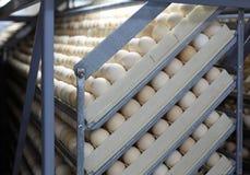 在孵养器的鸡鸡蛋 免版税图库摄影