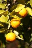 在它充分的荣耀的柠檬树分支 免版税库存图片