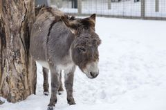 在它摩擦它的侧面的积雪的笔的驴反对树干 图库摄影