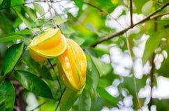 在它的分支的成熟黄色果子金星果Averrhoa阳桃在庭院 免版税图库摄影