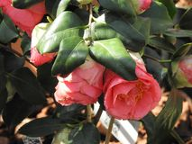 在它的叶子的日本山茶花 免版税库存照片