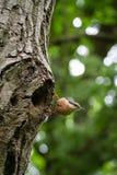 在它的巢入口的红breasted五子雀  免版税图库摄影