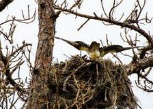 在它的巢的一根白鹭的羽毛 库存图片