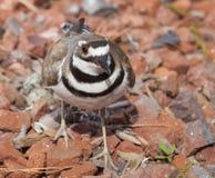 在它的巢的双胸斑沙鸟 图库摄影