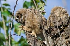 在它的巢的幼小猫头鹰之子与被延伸的爪 库存图片