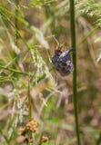 在它的巢的欧洲纸质黄蜂 免版税库存图片
