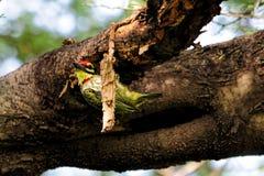 在它的巢的铜匠热带巨嘴鸟 免版税库存照片