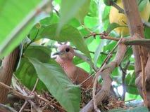 在它的巢的鸽子 免版税图库摄影