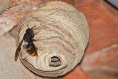 在它的巢(大黄蜂类Velutina)的一个亚洲掠食性黄蜂 库存图片