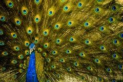 在它的最佳的姿势的印地安全国鸟 免版税库存图片