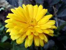 在它的最大辉煌的黄色金盏草 库存图片