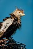 在它的枝杈巢的Guira杜鹃。 库存照片