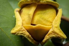 在它的树的刺番荔枝花 免版税库存照片