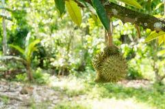 在它的树的新鲜的留连果 库存照片