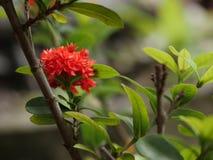 在它的树的美丽的红色茜草科花 免版税库存照片