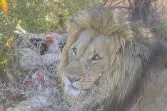 在它的牺牲者附近的公狮子 库存图片