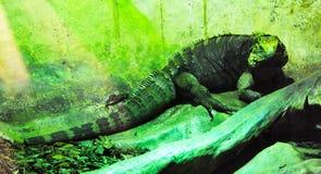 在它的环境里伪装的一只绿色鬣鳞蜥 免版税图库摄影