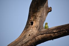 罗斯圈状的长尾小鹦鹉 免版税库存照片