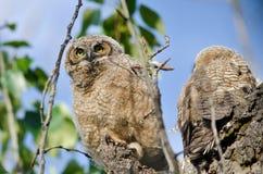 在它的看横跨树上面的巢的幼小猫头鹰之子 库存照片