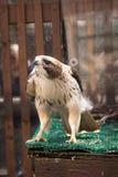 在它的笼子的一只红被盯梢的鹰在动物园 免版税图库摄影