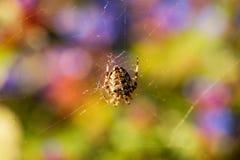 在它的网中间的发怒蜘蛛 免版税库存照片
