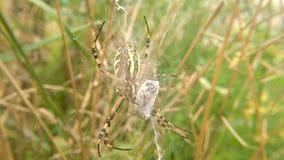 在它的网的黄蜂蜘蛛与被包裹的受害者 股票视频
