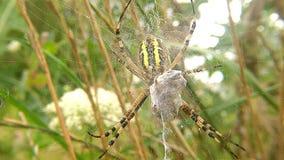 在它的网的黄蜂蜘蛛与被包裹的受害者 影视素材