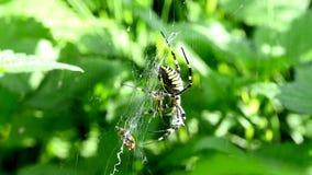 在它的网的黄蜂蜘蛛在再生产时 影视素材