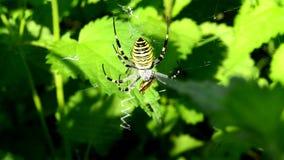 在它的网的黄蜂蜘蛛在再生产时 股票视频