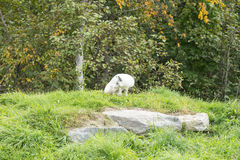 在它的自然设置的一只白狐 库存图片
