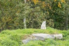 在它的自然设置的一只白狐 库存照片