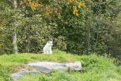 在它的自然设置的一只白狐 免版税图库摄影