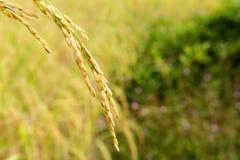 在它的茎的米五谷在稻田准备好收获 免版税图库摄影