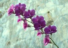 在它的词根的充分的紫色石斛兰属兰花 免版税库存图片