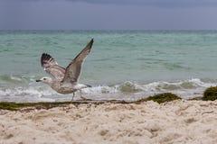 在它的起动飞行的布朗连续海鸥反对在海的风暴 狂放的鸟概念 在沙子海滩的海鸥在飓风天 免版税库存图片