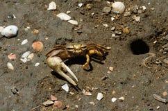 在它的隐藏处孔旁边的招潮蟹 免版税库存图片