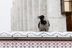 在它的额嘴的乌鸦拿着一枚坚果 库存图片