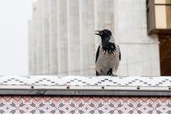 在它的额嘴的乌鸦拿着一枚坚果 免版税库存照片