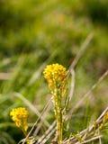 在它的y的一朵美妙的开花的和发芽的黄色春天花 库存图片