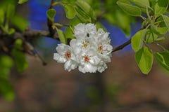 在它自己的阴影的开花樱桃 免版税库存照片