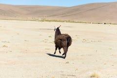 在安地斯山的高地的一唯一骆马在玻利维亚 免版税图库摄影