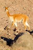 在安地斯范围的狂放的骆马Camelid 免版税库存图片