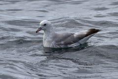 在安塔尔坐海洋表面的南极管鼻获 免版税库存照片