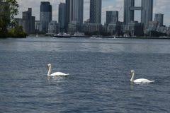 在安大略湖多伦多的天鹅 免版税库存照片