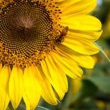 在安徒生向日葵农场的一只繁忙的小的蜂 免版税图库摄影