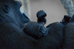 在安装的母亲的胳膊的小大猩猩 库存照片