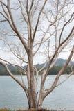 在安达曼海的海岸的干燥树 库存图片