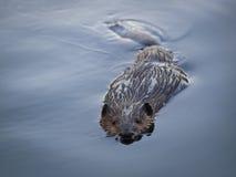 在安静的池塘的海狸游泳 免版税库存图片