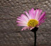 在宏指令的桃红色雏菊 库存照片